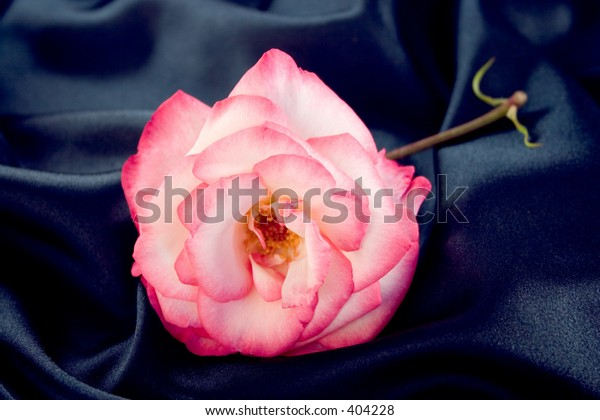 A pink and white rose lying on blue satin