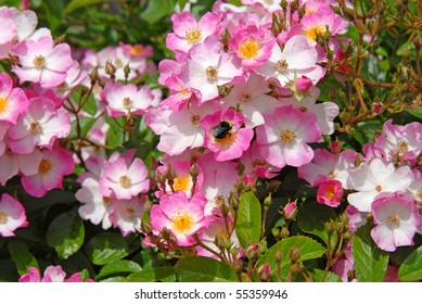 Pink & White Roses With Bee