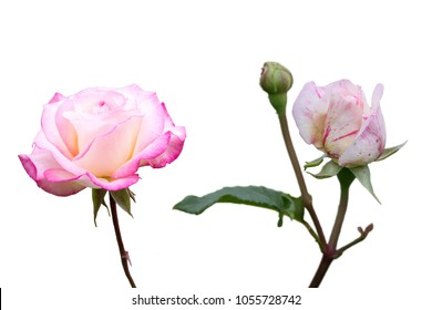 Pink and white roses isolated on white background