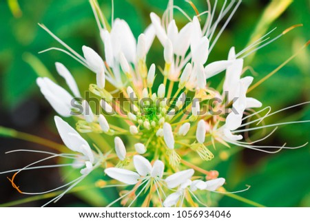 Pink White Spider Flower Cleome Hassleriana Stock Photo Edit Now