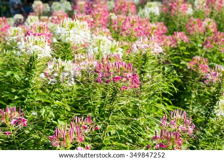 Pink White Spider Flower Cleome Hassleriana Background Stock Photo