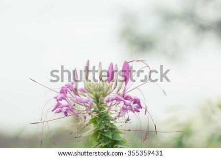 Pink White Spider Flower Cleome Hassleriana Garden Stock Photo Edit