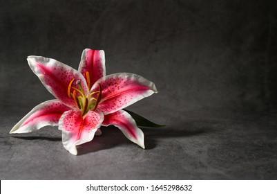 Pink and White Stargazer Flower on a dark background