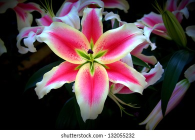 Pink and white stargazer with vignette