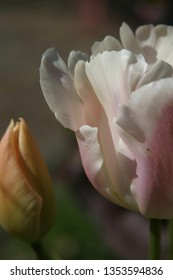 Pink and white tulip in the spring