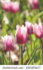 Pink and white tulips flower bed blooming under spring sunlight.
