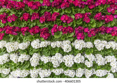 Pink and white tulips wall