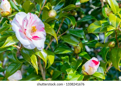 Pink and white two-tone camellia