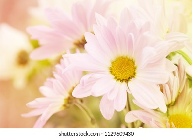 A pink, white and yellow daisy with a beige blurred background on the left for copy space.