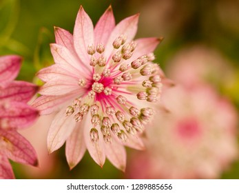 Pink wild astrantia blossom in spring