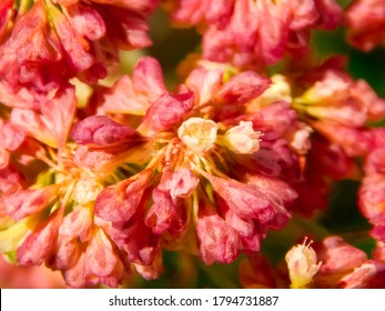 Pink wild clover in summer closeup