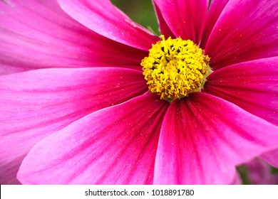 "Pink wild flower ""Wild Cosmos"" (Cosmos bipinnatus) detail blooming during Spring and Summer closeup macro photo with stunning purple violet bright colours."