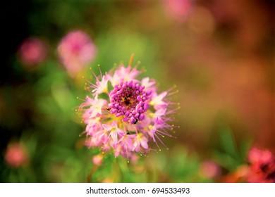 Pink Wild flower at Dusk
