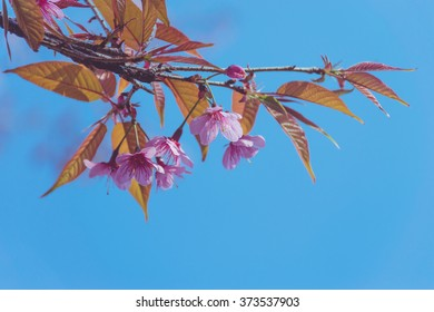 Pink Wild Himalayan Cherry with blue sky,vintage and pastel