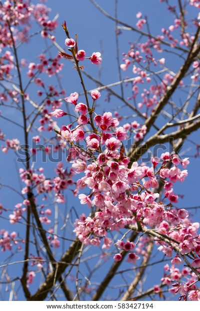 pink wild himalayan cherry flower or cherry blossom