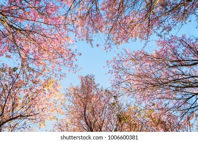 Pink Wild Himalayan cherry flowers on branch with blue sky (Thailand's sakura or Prunus cerasoides), known as Nang Phaya Sua Khrong in Thai at Phu Lom Lo mountain, Loei, Thailand.