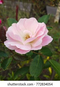 Pink wild rose blooming in the garden