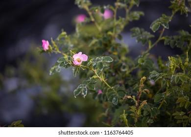pink wild rose bushes