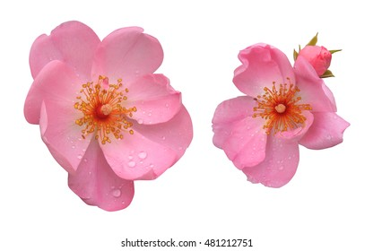 Pink wild rose on a white background. Flowers of rose hips isolated.