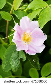 Pink Wild rose, portrait