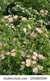 Pink wild rose (Rosa canina) in forest spring
