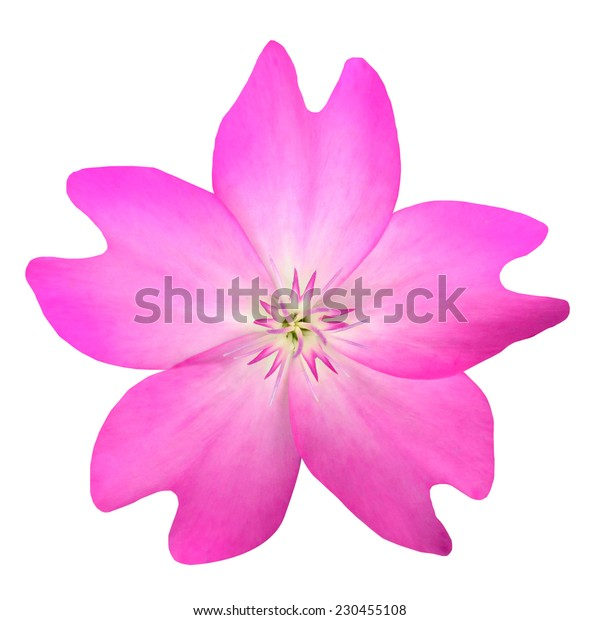 Pink WildFlower Isolated on White Background. Flower has five petals and has unusuall shape