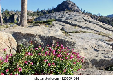 Pink wildflowers growing between rocks at Donner Summit.