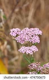 Pink wildflowers yarrow (Achillea millefolium). Selective focus.
