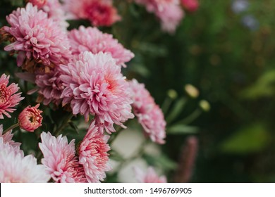 pink winter chrysanthemum flowers with space for text. garden chrysanthemum