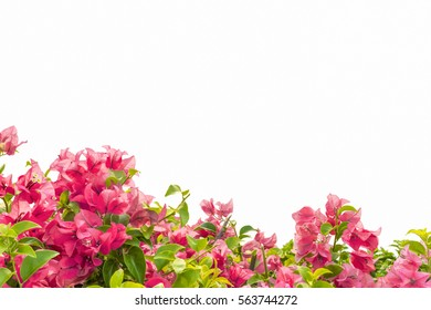 pink yarrow, Paper flower, isolated