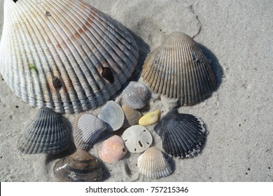 Pink, Yellow, Black, Blue, Brown Sea Shells on Sand with Sand Dollar