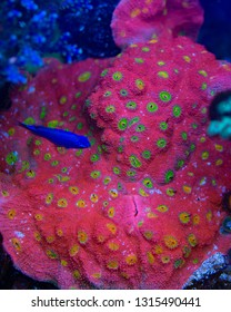 Pink and Yellow Chalice Coral
