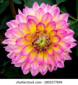 Pink yellow dahlia flower in garden