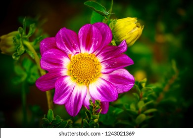 Pink and yellow dahlia in the middle of a garden and buds of yellow dahlias