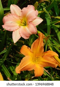 pink and yellow daylilies with green foliage