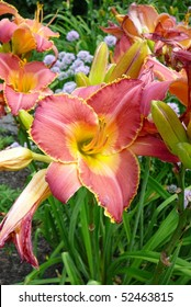 Pink and Yellow Daylily Flower, Chicago, IL