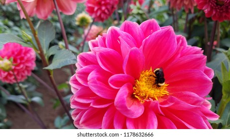 pink and yellow flower with black bee