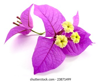 Pink and Yellow Flower, Santa Rita or Bougainvillea isolated over white background