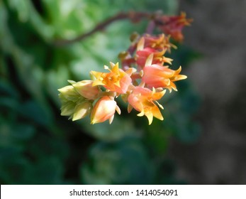 pink and yellow flower of a suculent