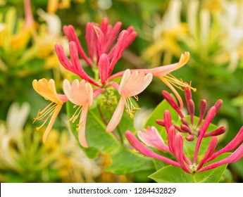 Pink and yellow flowered Goldflame Honeysuckle