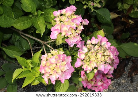 Pink yellow french hydrangea flowers or stock photo edit now pink and yellow french hydrangea flowers or bigleaf hydrangea lacecap hydrangea mightylinksfo