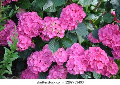 Pink and yellow Hortensia bush in the garden,Hydrangea