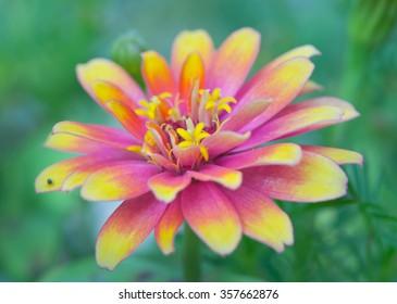 Pink and yellow hybrid Aster flower (Science name Callistephus chinensis, family name Compositae) in Rama 9 (local name) national garden, Bangkok Thailand