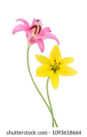 Pink and yellow Lily flowers isolated on a white background