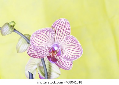 pink and yellow orchid with yellow background