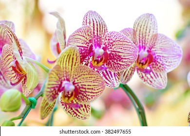 Pink and yellow Phalaenopsis orchids hybrid at Royal Rajchapuak Park, Chiangmai Thailand Thai orchids