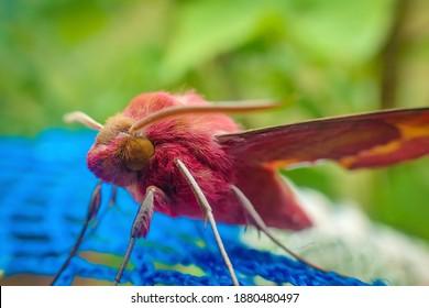 A Pink and Yellow Rosy maple moth