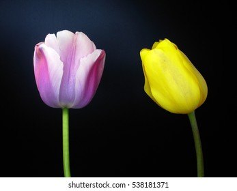 pink and yellow tulips on black background