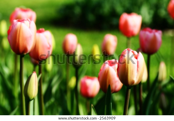 Pink and Yellow Tulips in the Park