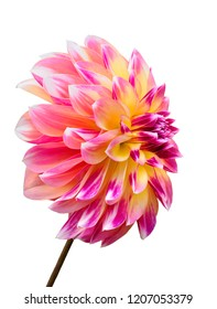 Pink Yellow and White Focus Stacked Dahlia Isolated on White
